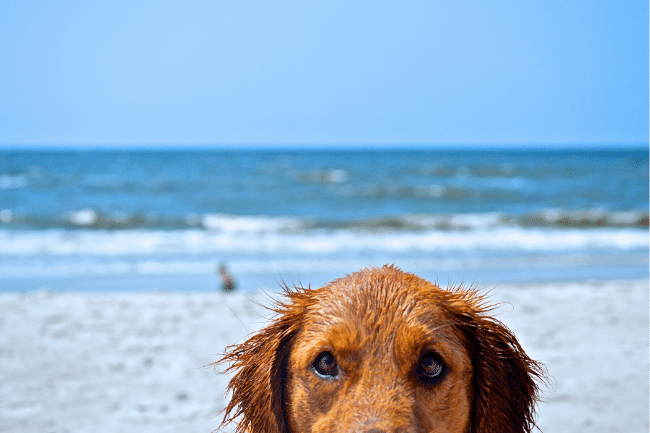 Dog face with beach background
